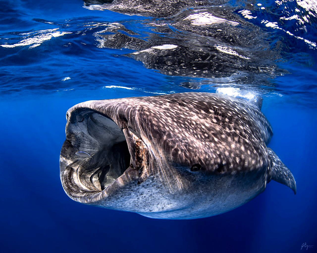 whale sharks tour in Cancun